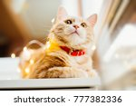 Stock photo cat and christmas lights cute ginger cat lying near the window and play with lights 777382336