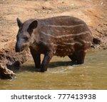The South American Tapir ...