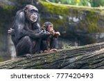 Young Chimp Hangs On Sit Besid...