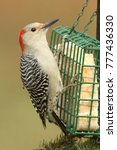 Small photo of Female Red-bellied Woodpecker (Melanerpes carolinus) on a suet feeder
