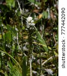 Small photo of American Bistort - Mountain Wildflower