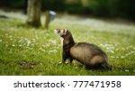 Sable Ferret Outdoor Portrait...