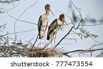 2 Storks Beside Their Nests At...
