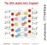 dna double helix fragment... | Shutterstock .eps vector #777495064