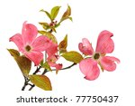 Pink Dogwood Blossoms Isolated...