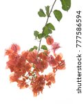 bougainvilleas isolated on... | Shutterstock . vector #777586594