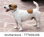 portrait of a dog on a pavement ... | Shutterstock . vector #777606106