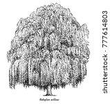 Babylon Willow Tree...