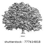 walnut tree illustration ... | Shutterstock .eps vector #777614818