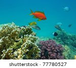 Red Coral Perch  Male  At The...