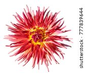 beautiful red yellow dahlia.... | Shutterstock . vector #777839644