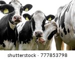black and white curious cows | Shutterstock . vector #777853798