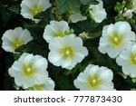 Small photo of Summer floral nature background - Alcea flowers Summer landscape with Alcea flowers. Close up of summer Alcea flowers. Congratulatory flowers background.