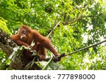 Small photo of The orangutans are three extant species of great apes native to Indonesia and Malaysia. Orangutans are can be found in the rainforests of Borneo and Sumatra