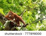 very sleepy orangutan pongo... | Shutterstock . vector #777898000