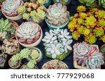 miniature succulent plants ... | Shutterstock . vector #777929068