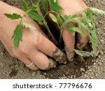 woman hands planting tomato... | Shutterstock . vector #77796676