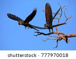 two hyacinth macaws taking off... | Shutterstock . vector #777970018