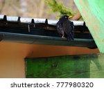 A Male Common Blackbird Sittin...