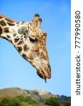 giraffe in cabarceno natural... | Shutterstock . vector #777990580