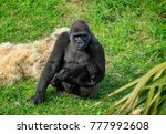 gorilla in cabarceno natural... | Shutterstock . vector #777992608