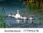 swan mother and chickens... | Shutterstock . vector #777993178
