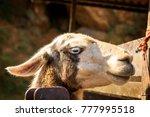 alpaca head in cabarceno... | Shutterstock . vector #777995518