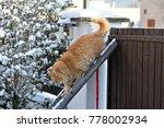 Stock photo siberian cat in winter 778002934