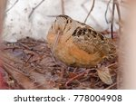 Small photo of An american woodcock taking refuge on a small patch of snow-free forest floor at the beginning of spring.