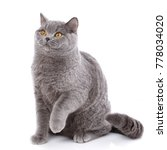 portrait evil big gray cat... | Shutterstock . vector #778034020