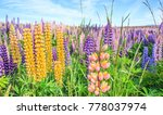 view of lupin flower field near ... | Shutterstock . vector #778037974