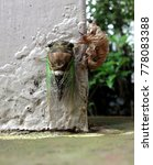Small photo of Cicada Molting Clinging to Post