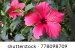 Bright Pink Large Flower Of...