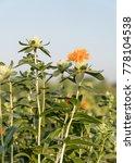 safflower  carthamus tinctorius ...   Shutterstock . vector #778104538
