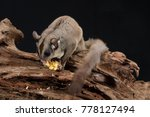 Sugar Glider Eating Corn In...
