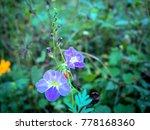 wild purple flowers bloom in... | Shutterstock . vector #778168360