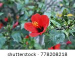 Bright Red Flower Of Hibiscus ...