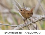 pacific wren perched on bare... | Shutterstock . vector #778209970