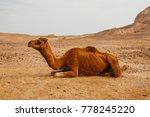 camel in desert in israel  negev   Shutterstock . vector #778245220