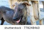 lovely pity dog skin pain fur... | Shutterstock . vector #778248463
