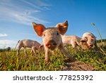 Pig On A Pig Farm In Dalarna ...