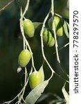 oleaster tree background | Shutterstock . vector #778297570