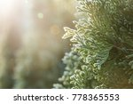 Thuja During The First Frost....