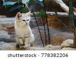 Cute Arabian Sand Kitten Cat ...