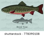 Brook Trout. Vector...