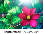 beautiful large scarlet... | Shutterstock . vector #778393654