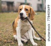 cute beagle spending time... | Shutterstock . vector #778405699