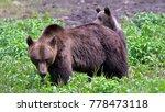 Wild Brown Bear   Ursus Arctos...