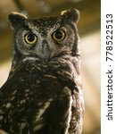 Portrait Of A Great Horned Owl...