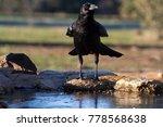 carrion crow. corvus corone | Shutterstock . vector #778568638